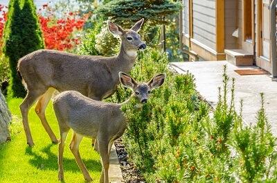 deers in the backyard