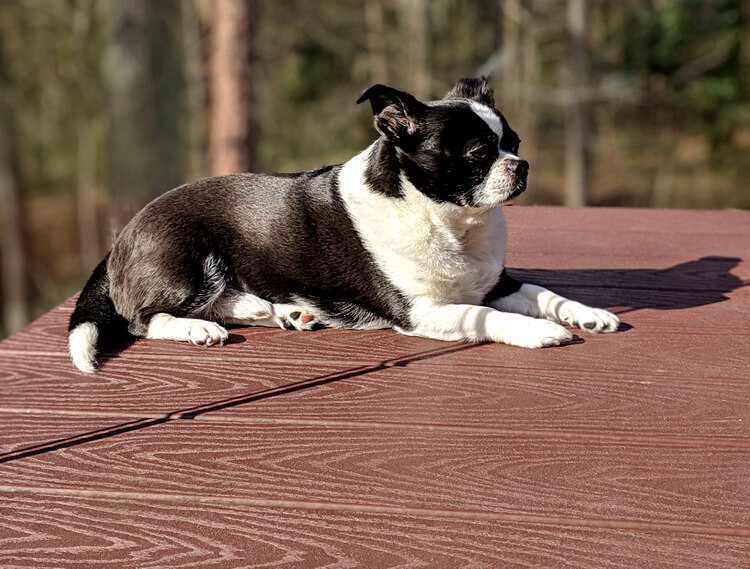 Dog lounging on deck